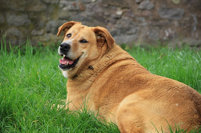 A large brown dog lying on the grass