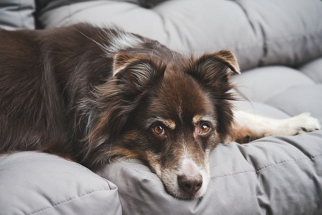 A large brown dog lying on a bed